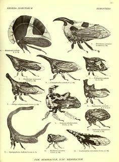 Homoptera fam. Membracidæ - BioStor