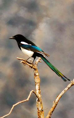 black billed magpie - Banff 5-13