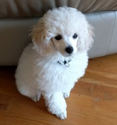 white poodly puppy cutie, can't wait to get my own! #whitepoodle #miniature