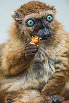 Female Sclaters lemur eating