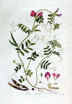 Vicia sativa —_Flora Batava —  Volume v2