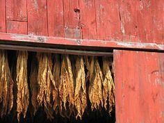 Tobacco drying by ScribeGirl Massachusetts, Tropical, Eye, Barns, Wood, Theater, Inspiration, Photography, Biblical Inspiration