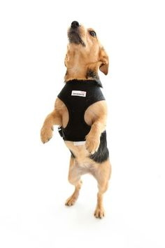 Doodlebone Dog Harness  Black Small -- Check out this great product.Note:It is affiliate link to Amazon.