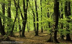BBC Nature - Beech wood videos, news and facts