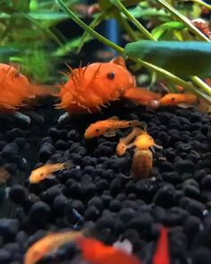 How adorable are these baby Plecos How adorable are these baby Plecos Successful Aquarium successfulaquarium Fish tank What is your favorite type of Pleco My nbsp hellip pflanzen videos Tropical Fish Aquarium, Nano Aquarium, Nature Aquarium, Planted Aquarium, Freshwater Aquarium Shrimp, Freshwater Fish, Pleco Fish, Aquarium Pictures, Plecostomus