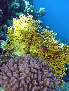 arrecife de coral de fuego y corales en el fondo del mar rojo Foto de archivo