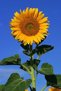I love Sunflowers but every time I have tried to grow them the animals eat them!