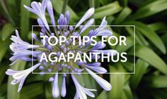 Top tips for agapanthus - Silverstone Gardening Garden Ideas Australia, Agapanthus, Replant, Love Garden, Garden Plants, Gardening, Tips, Green, Flowers