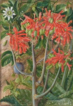 387. Aloe and Passionflower, South Africa. Prints by Marianne North | Magnolia Box