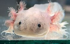 With big branch-like gills, lizard-like limbs, and a cute perma-smile, it's hard not to fall in love with the axolotl.