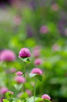 千日紅(せんにちこう) Globe amaranth (Gomphrena globosa)