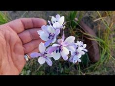 Babiana cederbergensis from seed Modern Food, Baboon, Rare Plants, Wild Flowers, Seeds, Plant, Wildflowers, Kitchen Modern