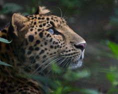 Dash ♂ - Amur Leopard | par Harimau Kayu (AKA Sumatra-Tiger)