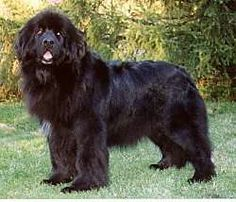 These dogs are gorgeous! The Newfoundland is a very smart, loving and protective dog! they weigh between 110 and 150 lbs! Just like our St. Giant Dogs, Big Dogs, Large Dogs, I Love Dogs, Cute Dogs, Dogs And Puppies, Doggies, Best Large Dog Breeds, Protective Dogs