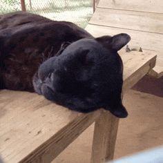 black panther (gif)