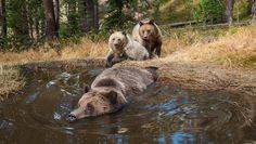 Cameras Capture Bears Cooling Off In Their Very Own Swimming Hole at Yellowstone Park