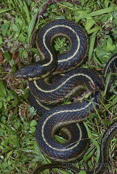˚Coast Garter Snake