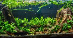 """547 Likes, 2 Comments - Buce Buce (@buceplant) on Instagram: """"Customer submitted anubias nana petite dominated tank. Think I see some mini buce in there too.…"""""""