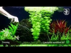 One of the easiest aquarium plants Beautiful, fast growing stems Great auxiliary plant when starting a new tank Limnophila sessiliflora is a pretty and undem. Neon Tetra, Aquascaping, Planted Aquarium, Freshwater Aquarium, Aquariums, Southeast Asia, Handmade Crafts, Fresh Water, Aquarium Ideas