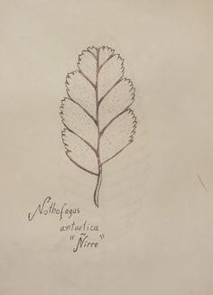 Nothofagus antarctica