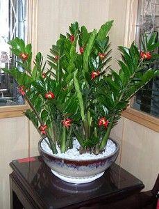 Zamioculcas Zamiifolia Plants Pinterest Plant House Plants Decor