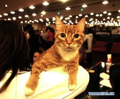 Int'l cat pageant contest held in Argentina