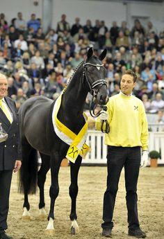 Blue Hors St. Schufro - warmblood stallion (Oldenburg and Dutch Warmblood)