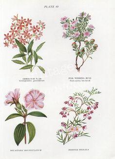 vintage Botanical print - Australian Wild Flowers, flower print, Christmas Bush, Boronia, flower art illustration