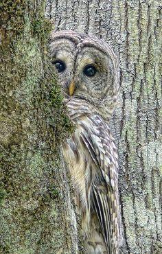 imgfave.com♕ Barred Owl