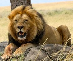 Löwe am Fels