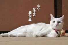 Twitter / nekozamuraiinfo: 玉之丞さま、よい日和でございますねぇ。 #猫侍 #白猫