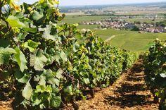 Vinhedo Romanée-Conti, Côte de Nuits,  Borgonha, França   O vinho francês Romanée-Conti produzido em Vosne-Romanée, na Côte de Nuits, Leste da França é classificado como Grand Cru e é considerado o maior vinho da Borgonha e um dos melhores da França, reverenciado por enólogos e enófilos de todo o mundo.  Os vinhedos remontam ao século XV plantados pelos monges de Saint-Vivant.   O nome vem do príncipe Louis François de Bourbon-Conti que o comprou em 1760. No entanto, a denominação…