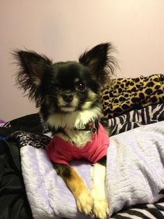 Beautiful puppy's I love this dog it's way cuter that other people's dogs :) Chihuahua Names, Teacup Chihuahua, Dog Breeders Near Me, Yorkshire Terrier Rescue, Australian Puppies, Italian Greyhound Dog, Grey Hound Dog, Puppy Care, Whippet