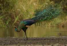 Green Peafowl (Pavo muticus) is famous for the glorious train carried by the male, the green peafowl lifts these meter-long iridescent upper tail feathers into a quivering fan when displaying. Each of the 200 metallic feathers ends in a beautiful brown, green & gold eyespot. The green peafowl is less well known, but perhaps even more spectacular than its close relative the Indianpeafowl & has a more upright posture, a greener neck, & a darker, more golden train.