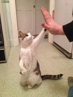 High five! funny cat