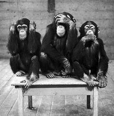 size: Photographic Print: Chipanzees Not Hearing, Seeing or Speaking Evil : Botanical Houston Zoo, Family Logo, See No Evil, Wise Monkeys, Monkey Business, Michel, Animal Photography, Animal Kingdom, Animals Beautiful