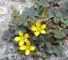 Oxalis corniculata (creeping woodsorrel) (Photo: Bouba/Wikimedia)
