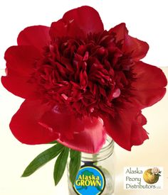 Our large Red Charm peonies, all Alaska Grown!