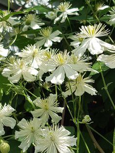 Summersnow; en utfordrer til den perfekte klatreplante. | SkarpiHagen White Cottage, White Gardens, Shed Storage, Green Garden, Planting, Shrubs, Pergola, Berries, Flowers