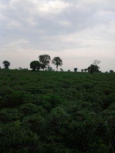 Thailand cassava farm