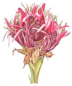 Leonie Norton   American Society of Botanical Artists