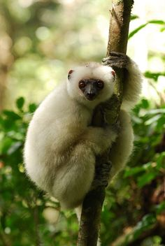 The Silky sifaka (Propithecus candidus) is a large lemur native to Madagascar. This beautiful lemur. Primates, Mammals, Baby Exotic Animals, Cute Animals, Funny Animals, Weird Looking Animals, Vulnerable Species, Habitat Destruction, Fox Dog