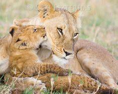 Baby lion kissing mom - by award winning wildlife photographer Suzi Eszterhas. Mother And Baby Animals, Cute Baby Animals, Animals And Pets, Wild Animals, Safari Nursery, Animal Nursery, Nursery Art, Nursery Decor, Wall Decor