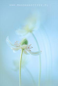 Anemone Love by Magda Wasiczek - Photo 160828447 - 500px