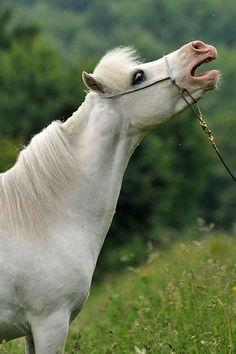 American Miniature Horse stallion H & HS Eros of Olympus