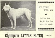 """At stud fee $25, Greatest bull terrier stud dog before the public."" Champion LITTLE FLYER, 1902."""