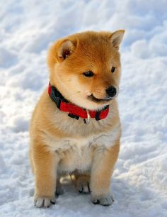 baby shiba in the snow looks so much like a ... / ❇ ❈ ❄ Let It Snow…