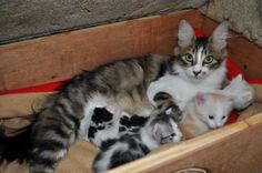 | Dschadi's Türkisch Angora Kätzchen - Kitten