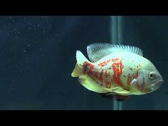 oscar fish in aquarium - YouTube