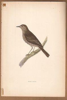 Tree Pipit Bird -  Original c1860 Morris H/C Print